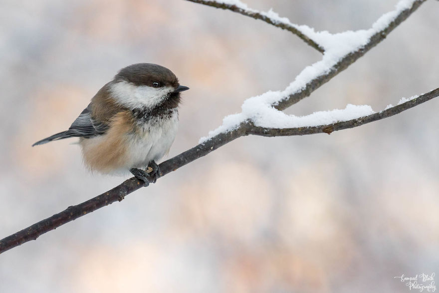 A Siberian Tit With Its Sunflower Seed