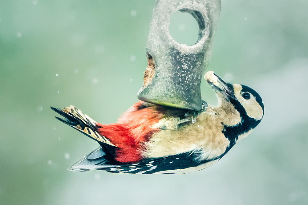 A not-very-natural natural history photograph. Photography judges don't like to see birds on garden feeders.
