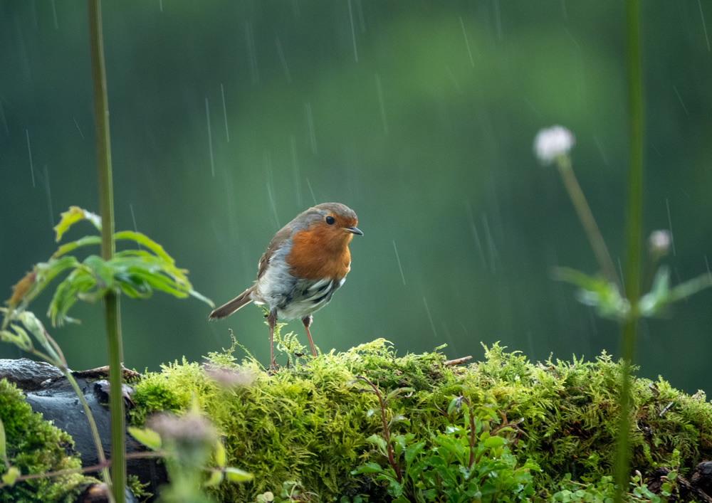 Depressed robin wondering if the rain will ever stop