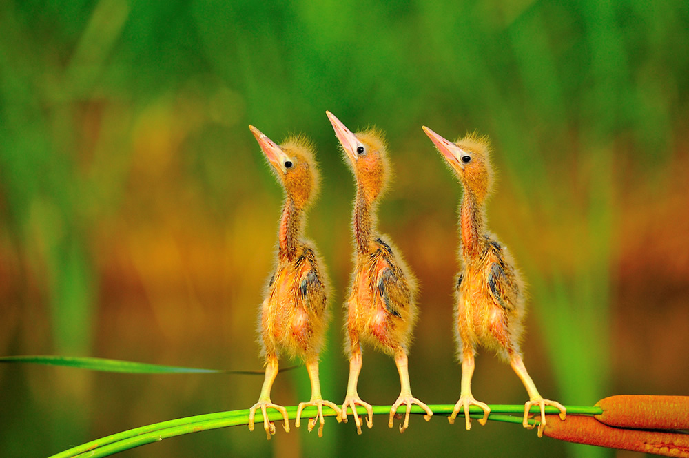 Yellow Youngsters - 2020 Bird Photographer of the Year (BPOTY)