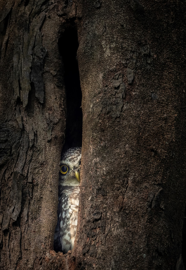 Spotted Owlet - 2020 Bird Photographer of the Year (BPOTY)