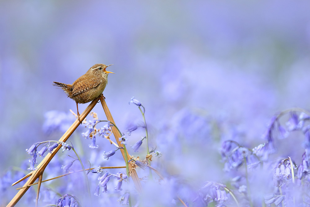 Singing the Blues - 2020 Bird Photographer of the Year (BPOTY)