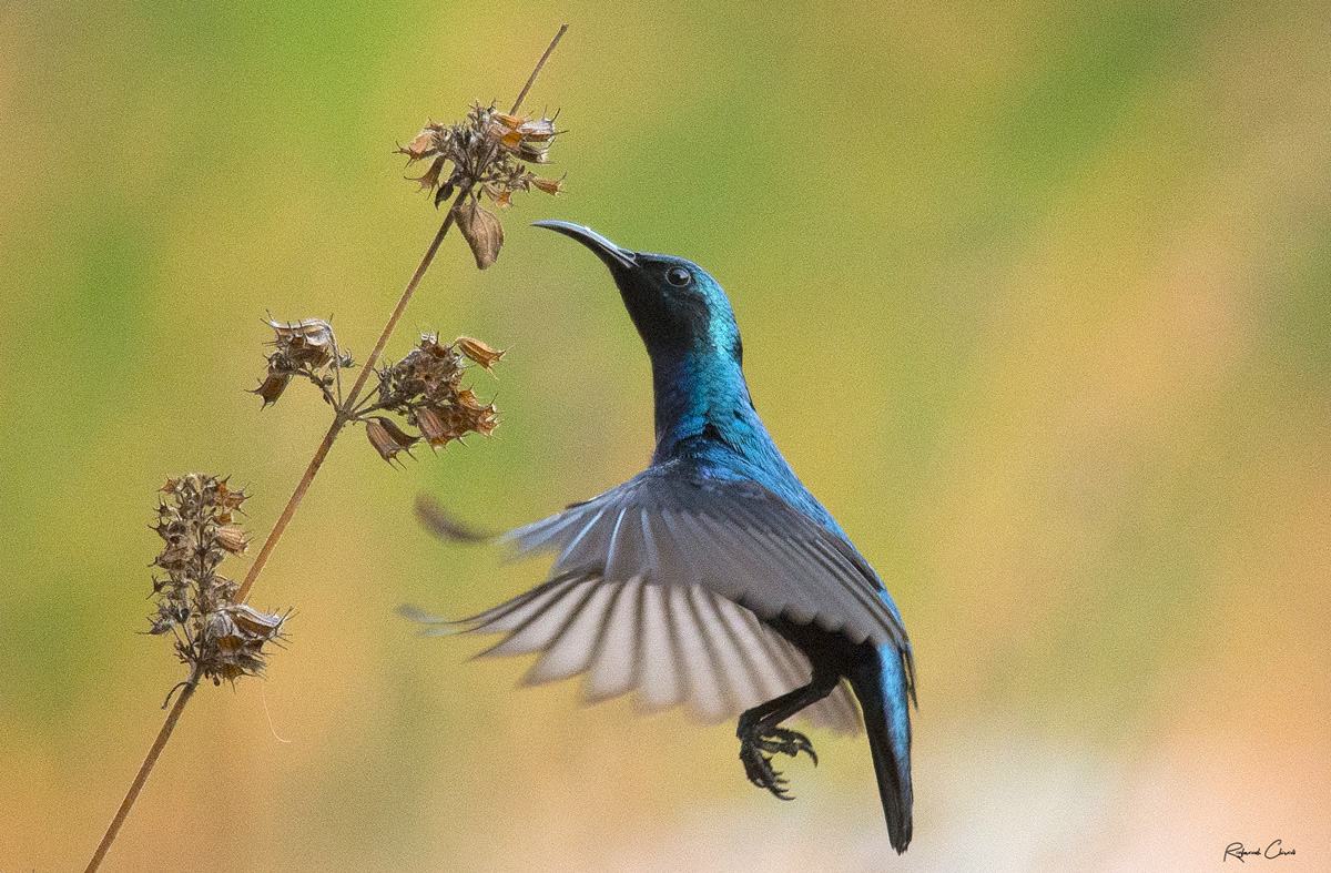 Passions Never Lockdown: Beautiful Bird Photography by Raghuvamsh Chavali