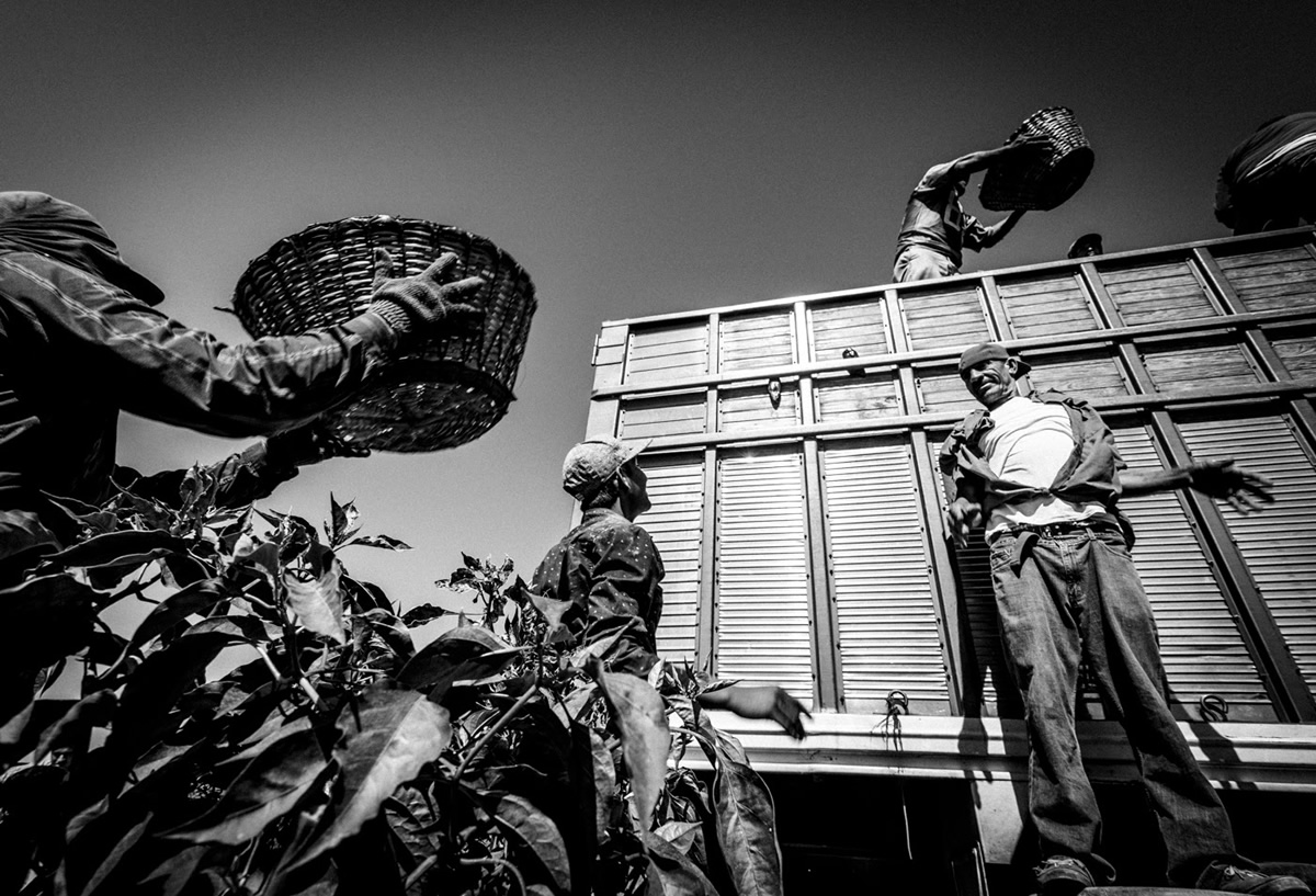 It's Chile Picking Season In Sinaloa México By Matt Mawson