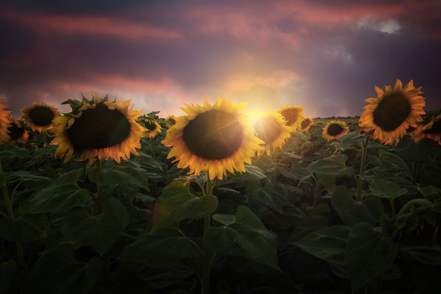 Gorgeous Sunset In The Sunflower Field