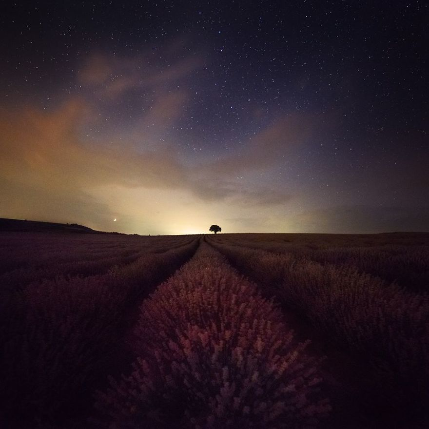 The Lonely Tree Between Lavenders