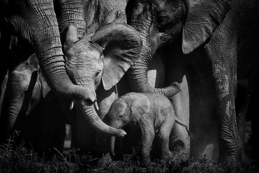 #1 Baby Elephant, Few Day Old New Addition, Bonds Of Love