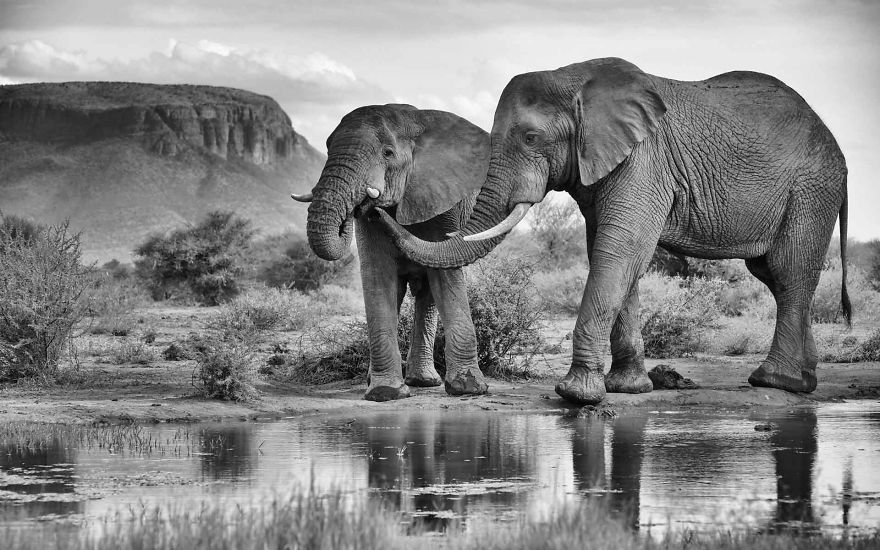 #7 Elephant Brothers, Bonds Of Love