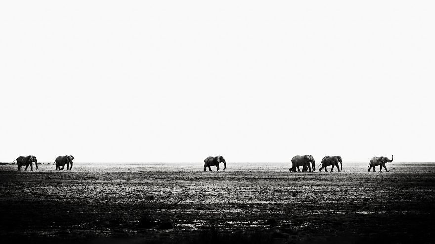 #23 Seven Bull Elephants Marching Across Etosha Pan