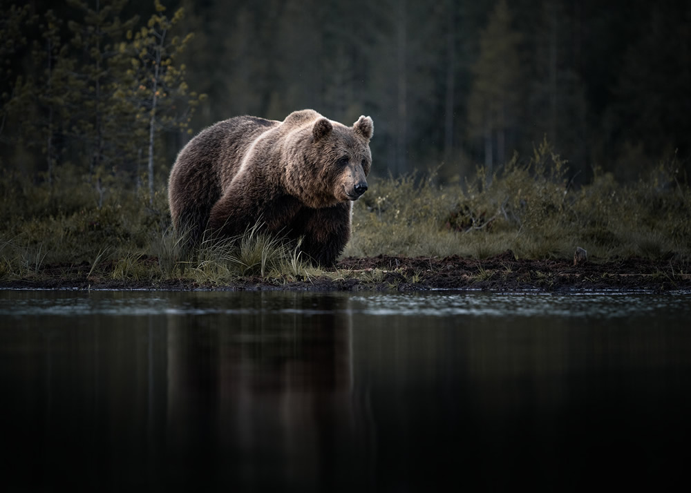 Bears Of Finland: A Photography Series By Christian Hoiberg