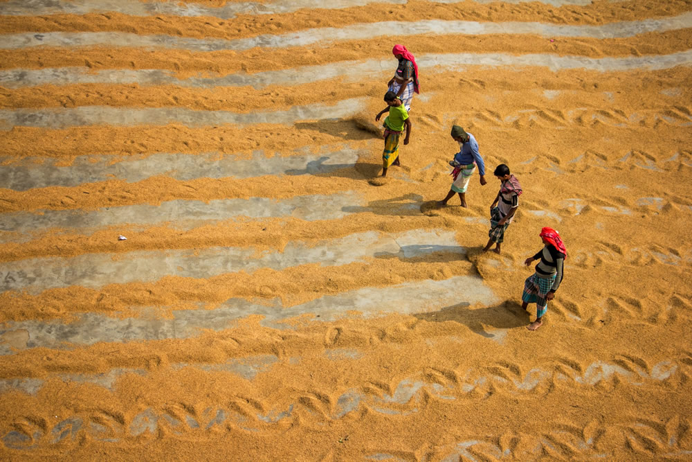 Drying The Paddy In The Sunlight Chatal By Rayhan Ahmed