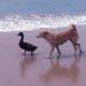 This Adorable Dog And Duck Are Best Friends, They Follow Each Other All Day