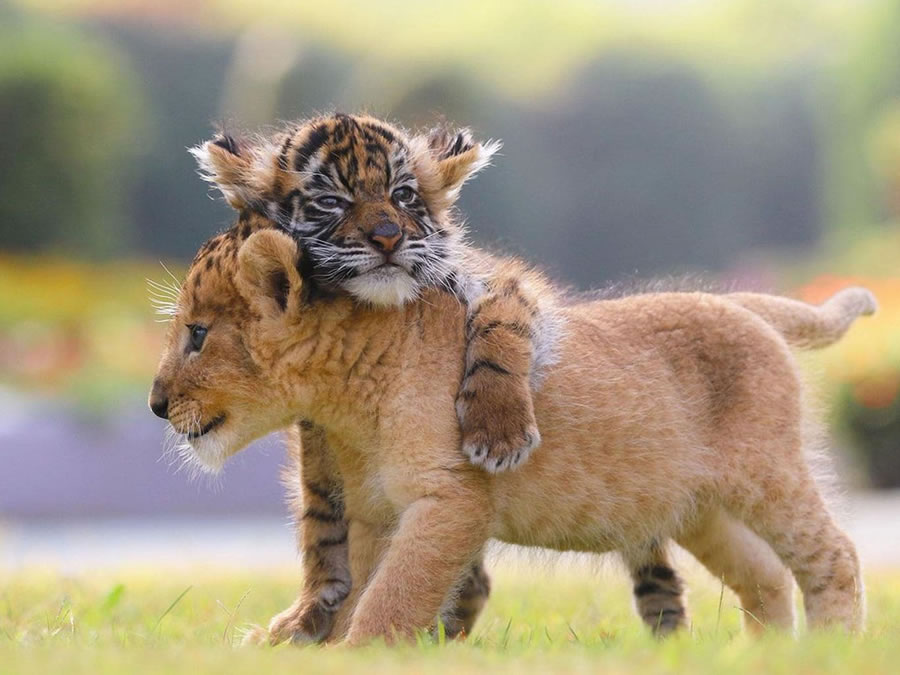 A Rare Scene To Behold When Baby Lion And Tiger Cub Are Found Inseparable
